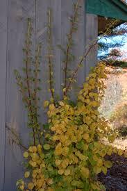 ledge and gardens climbing hydrangea hydrangea anomala subsp