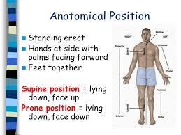 Directional Terms Human Anatomy Notes Anatomical Position And Directional Terms Ppt Video