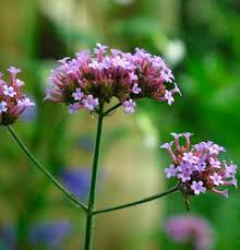 verbena flower verbena bonariensis gardening