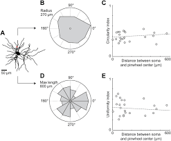 the shape of dendritic arbors in different functional domains of