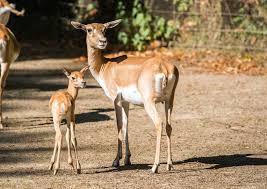hirschziegenantilopen wieder nachwuchs im kölner zoo kölnische