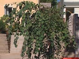 shade trees and easy care perennials diy