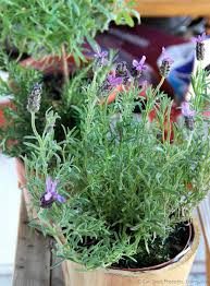 Fragrant Potted Plants - make herbal soap with fragrant potted herbs beauty crafter