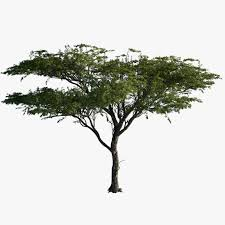 3d model tree acacia plant trees cutouts pinterest