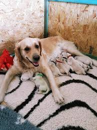 dog owner stunned golden retriever gave birth green