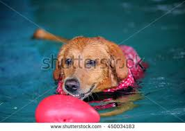 dog swimming pool stock images royalty free images u0026 vectors