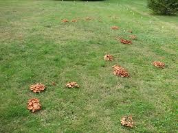backyard fungis mushroom identification