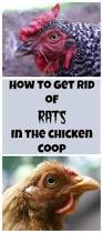 How Do You Get Rid Of Possums In The Backyard by Best 25 Getting Rid Of Rats Ideas On Pinterest Diy Mice