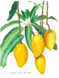 lychee fruit drawing botanical mangoes on brazilian time pinterest botanical