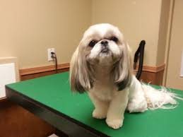 shih tzu haircuts google search puppy love pinterest