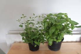 grow your own herbs and spices indoors food and drink