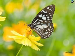 free download butterfly hd wallpaper 21
