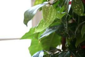 how long can pothos ivy live home guides sf gate