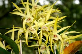 australia native plants january 2016 nambour orchid society