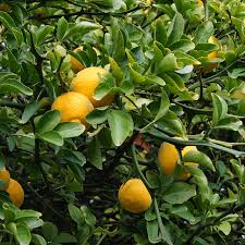 hardy orange tree flying for sale fast growing trees