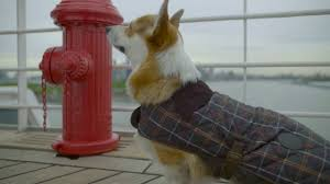 The Queen S Corgi Peanut The Corgi Starring In A Kennel Journey On The Queen Mary 2