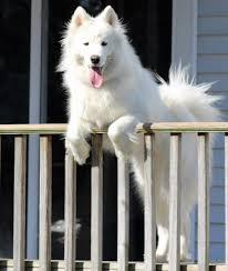 american eskimo dog jack russell mix samoyed dog shipping rates u0026 services