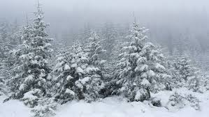 heavy snow falling in evergreen tree forest in winter stock