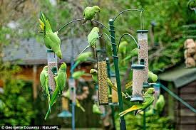Direct Home Decor In The Countries Of The Far North Where The by 50 000 Parakeets Are Threatening British Birds And Gobbling Crops
