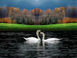 wallepaper valentine day wallpaper 1 swans pinterest wallpaper and