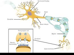 anatomy of a neuron video human biology khan academy