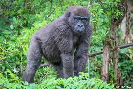 western lowland gorilla the cincinnati zoo u0026 botanical garden
