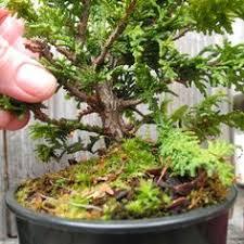 miniature garden tree set of six japanese japanese cedar