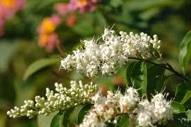 Shrub Small White Flowers - hong kong wetland park biodiversity corner habitat management