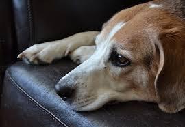 imagenes de triste porque mi amor esta malita perro triste mi perro está triste sintomas y qué hacer