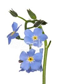 small blue forget me not flowers isolated on white stock photos