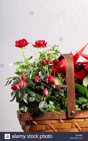 still life of red christmas plants in basket poinsettia flaming