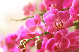 flower orchid tips for buying healthy orchids