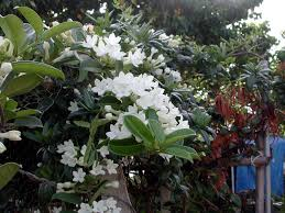 stephanotis flower stephanotis by any other name is marsdenia hawaii horticulture