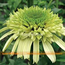 echinacea flower emerald green echinacea purpurea coneflower flower seed 50