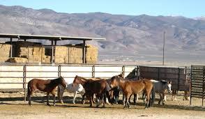 mustang adoption programs and burro adoptions and sales adoption