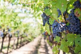 Trellis Wine Testing Trellis Systems For Georgia Grape Growers Vsc News