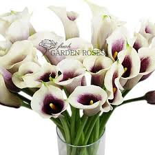 picasso calla picasso mini callas for your wedding day