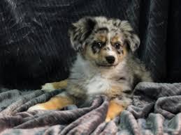 australian shepherd name origin australian shepherd puppies petland iowa city
