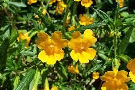 santa cruz native plants awaswas wart remedy poison oak mobile ranger