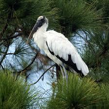 florida wood wood stork new jersey bird photos