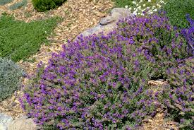 plants native to spain winter bee spanish lavender monrovia winter bee spanish lavender