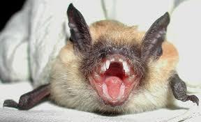 small bat mammals em a href image menu cfm genus 82