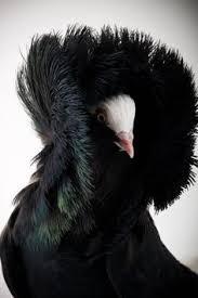 gang gang cockatoo lovely bird red crest u2026 pinteres u2026