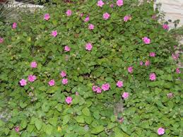native plants of texas native texas plant week my gardener says u2026