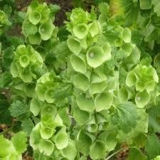 bells of ireland flower bells of ireland flower seed white seed company