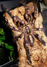 fringed ornamental poecilotheria ornata purple form keegan