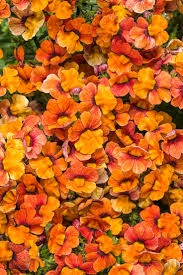 best shades of orange 43 best nemesia images on pinterest garden plants flowers and