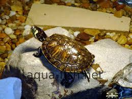 how to setup a turtle aquarium with forum