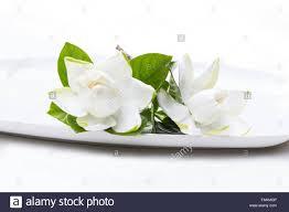 gardenia flowers gardenia jasminoides in a plate on white stock