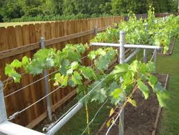 The Trellis And The Vine Growing Concord Grapes Guide To Installing A Trellis System